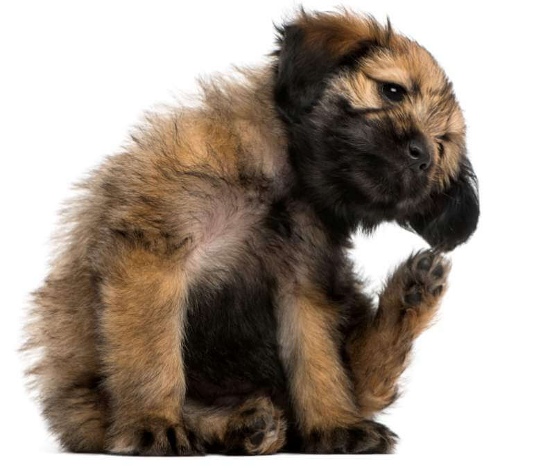 crossbreed-puppy-scratching-itself-2-months-old