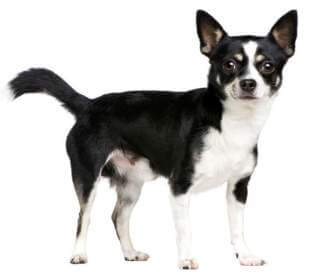 mixed-breed-dog-with-a-chihuahua