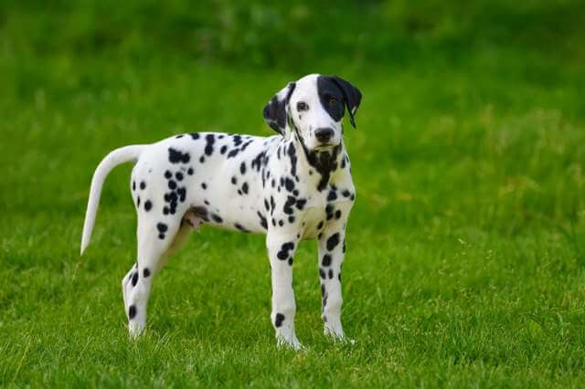 dalmatian-dog-outdoors-in-summer