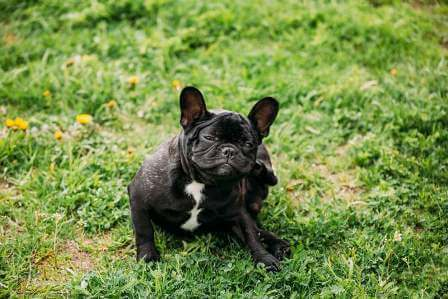 young-black-french-bulldog-puppy-dog-sitting
