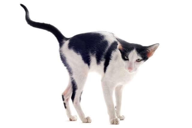 urinating-oriental-cat