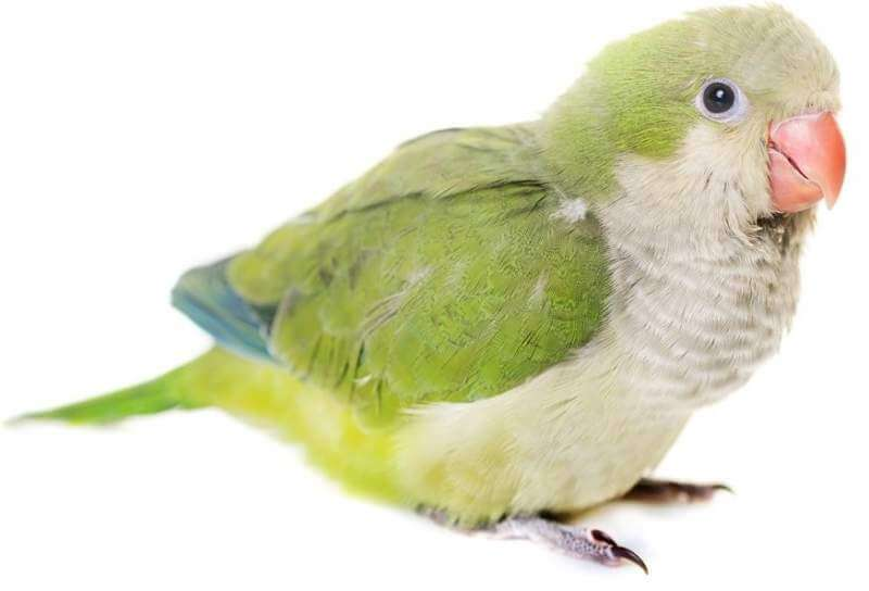 monk-parakeet-in-studio