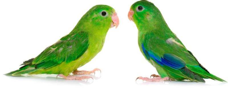 pacific-parrotlet-in-studio