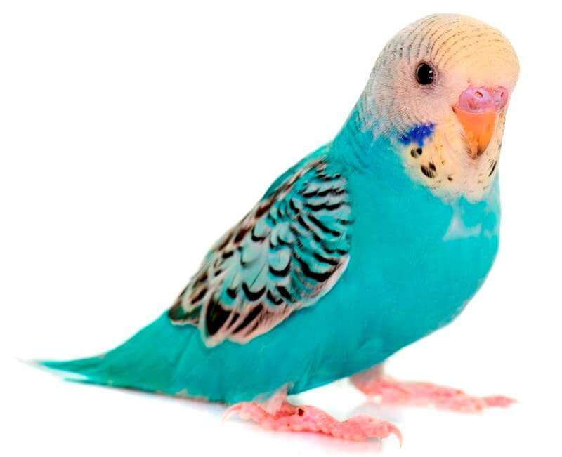 young-colorful-budgerigar