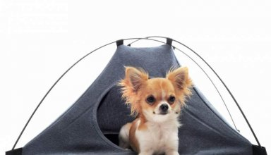 puppy-chihuahua-in-camp-tent