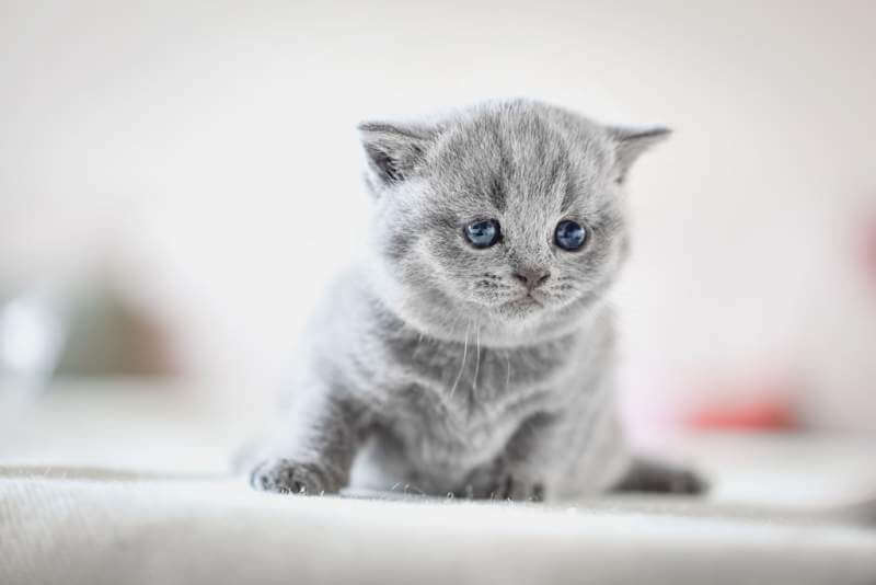 cute-kitten-on-bed-british-shorthair